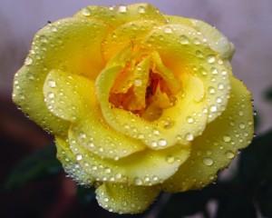 Rózsa küldés